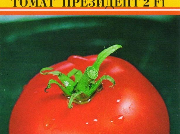 Подарок от голландских селекционеров — томат «президент»: подробное описание гибрида и секреты ухода за ним