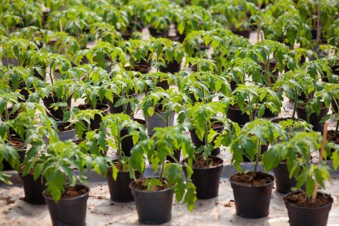 3 ошибки, которые совершают дачники, высаживая рассаду в торфяные горшочки