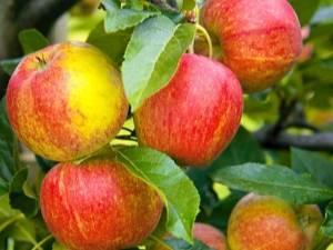 Сорт яблони краса свердловская – описание, фото