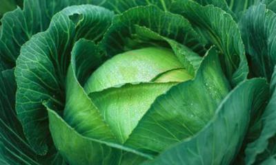 Большой урожай с малыми усилиями — капуста мегатон: характеристика, описание и фото сорта