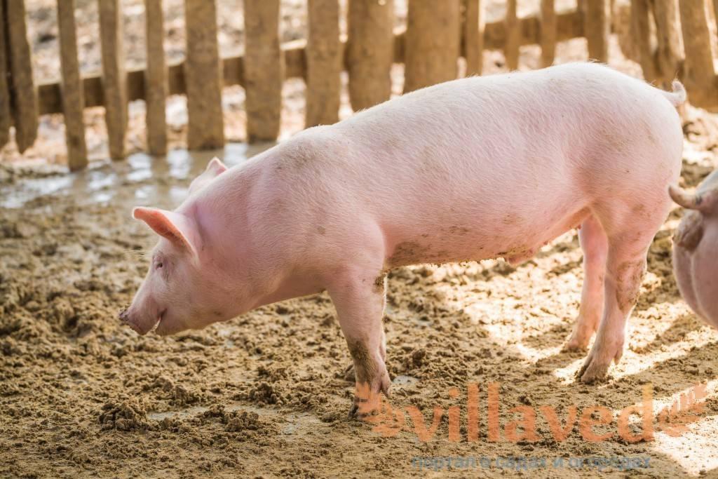 Свиньи породы пьетрен – лидеры гибридного разведения