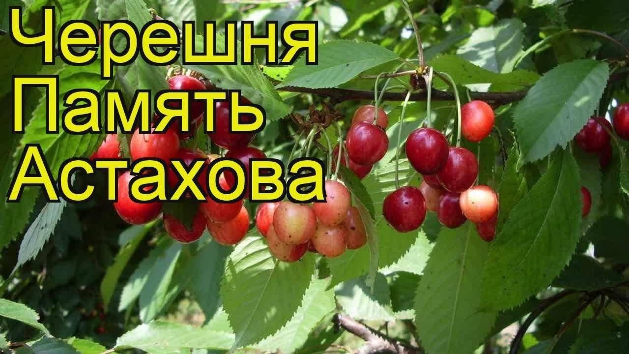 Черешня любимица астахова: описание и характеристики сорта, посадка и уход, опылители
