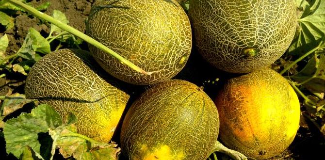 Описание сорта дыни лада, особенности выращивания и ухода