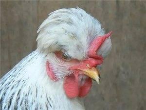 Русская хохлатая порода кур: внешние особенности, уход, правила разведения, фото, мнения фермеров