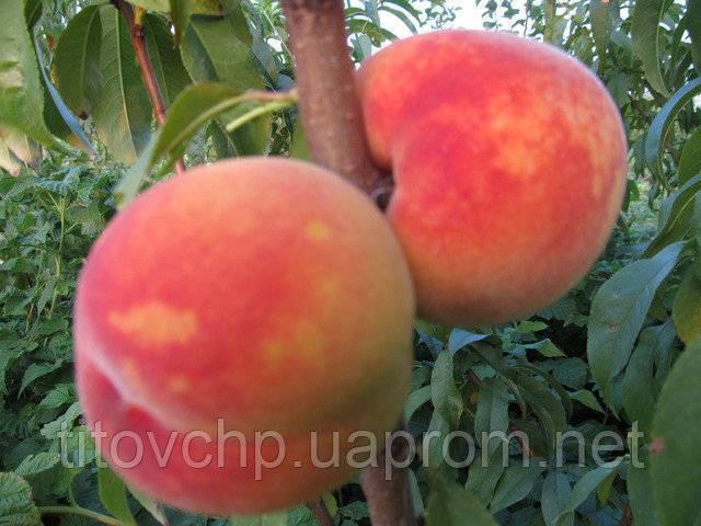 Киевский ранний: очень сладкий и морозоустойчивый персик