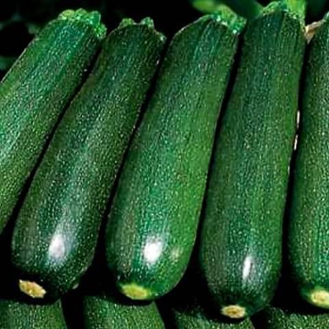 Сорта зеленых кабачков