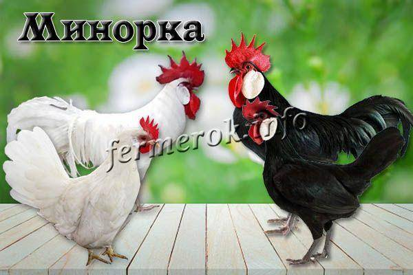 Минорка: порода кур