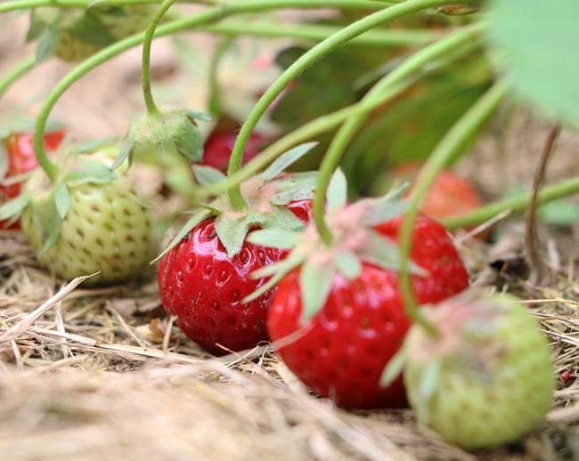 Чем подкормить жимолость осенью: какие удобрения предпочитает ягодный кустарник, когда вносить, в каких количествах