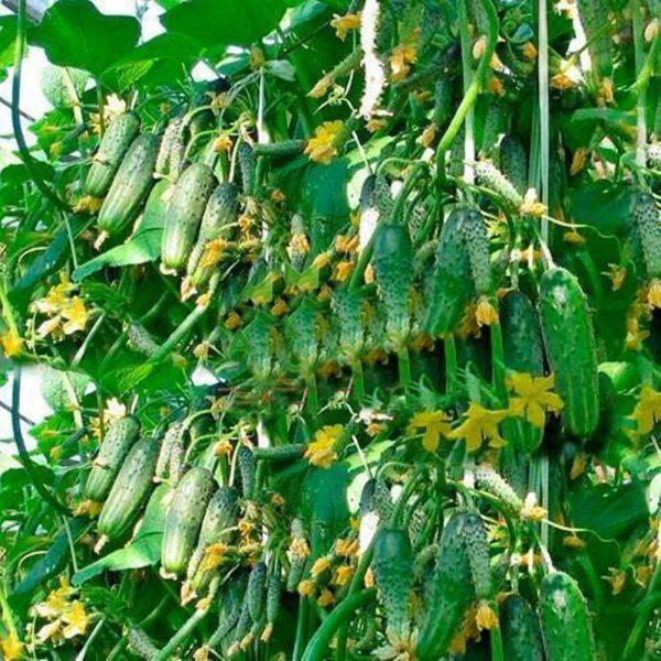Сорта кустовых самоопыляемых огурцов