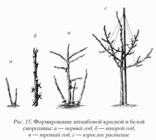 Штамбовая смородина: особенности, преимущества, недостатки, технология выращивания, особенности ухода
