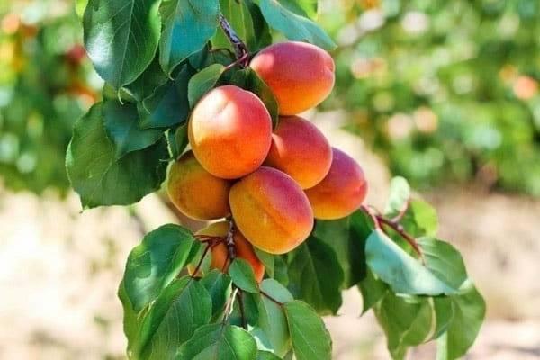 Описание абрикоса сорта краснощекий — рекомендации по выращиванию и уходу