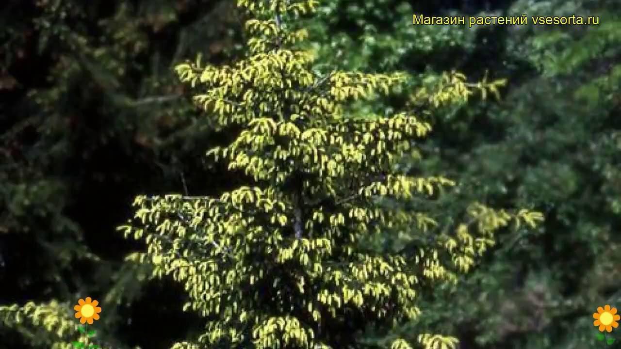 Сербская ель «карел»: описание, посадка и уход