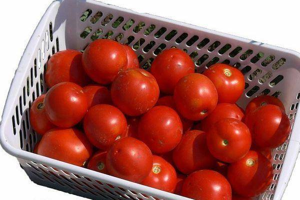 Лучший сорт с универсальным применением — томат красная заря f1: полное описание помидоров