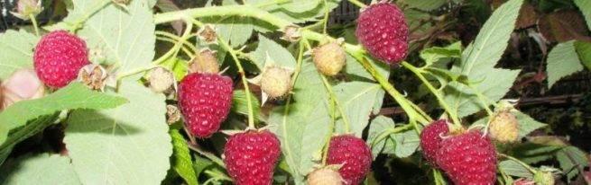 Малина сорта евразия — крупноплодная красавица в вашем саду