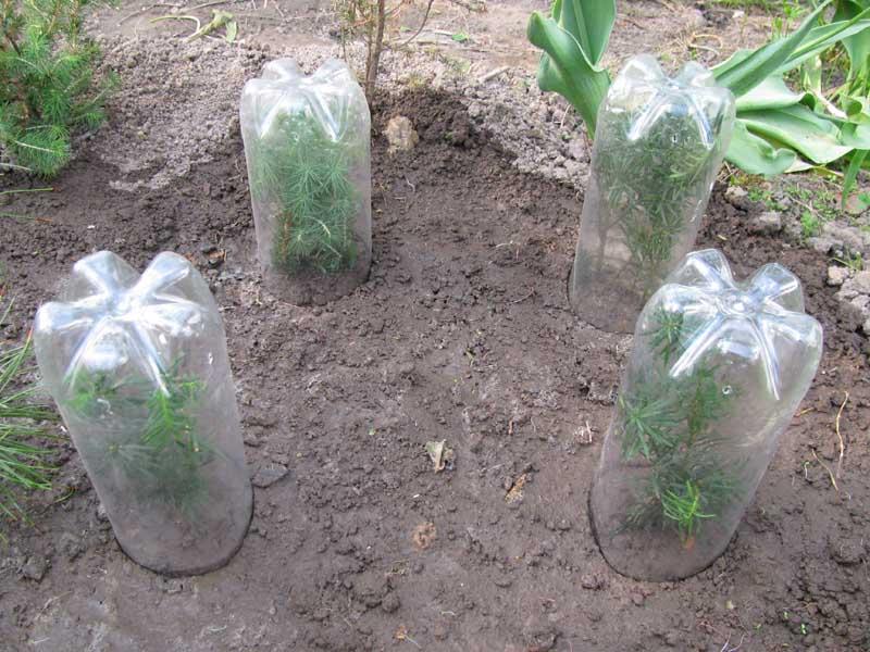 Размножение самшита черенками в домашних условиях и открытом грунте