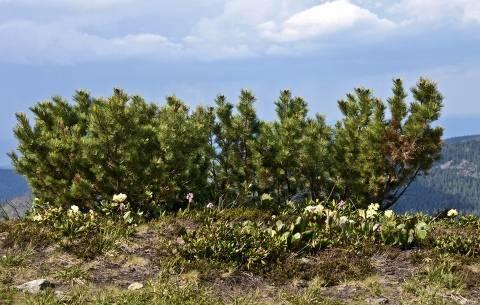 Кедровый стланик: описание и секреты выращивания