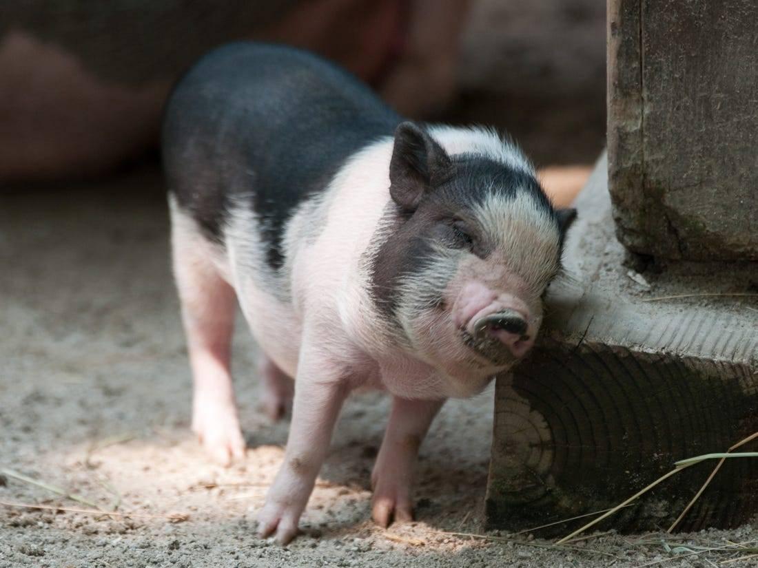 Болезни свиней: симптомы и лечение