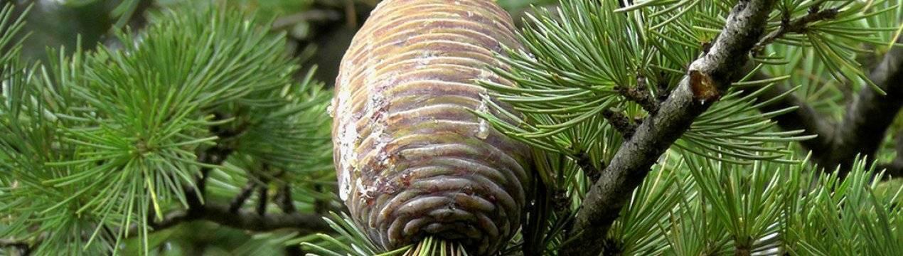 Кедр гималайский: популярные сорта и особенности выращивания