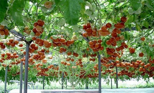 Помидорное дерево «спрут черри» f1: тонкости выращивания многолетнего томата с русским характером