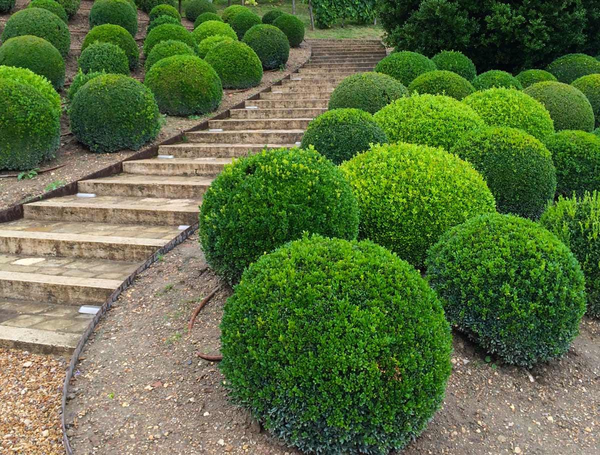 Самшит — особенности выращивания, правила ухода, болезни и многое другое + 98 фото