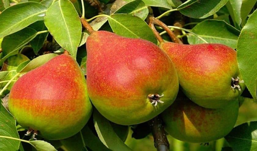"""Груша """"детская"""": описание сорта, фото плодов, советы по посадке и уходу"""