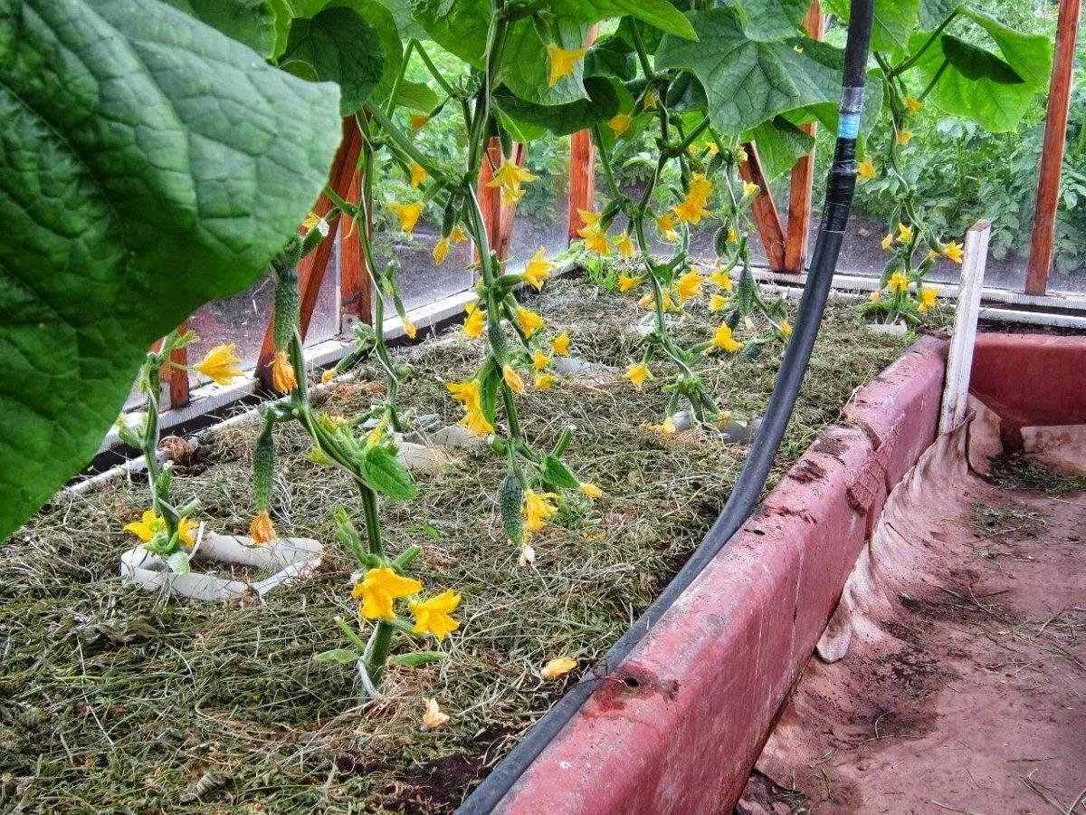 Почему не растут огурцы в теплице: ошибки при выращивании