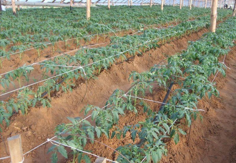 Когда высаживать рассаду помидоров в теплицу: оптимальные сроки, температура почвы и воздуха