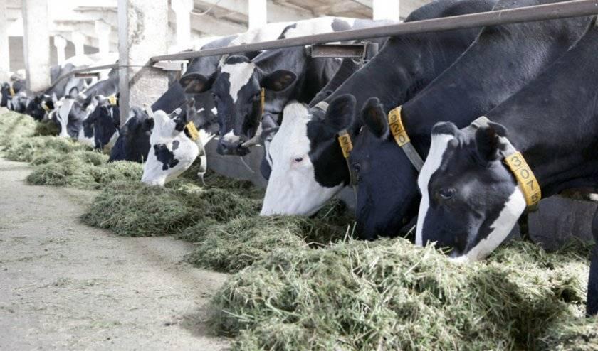 Беспривязное или привязное содержание – что выбрать для коров?