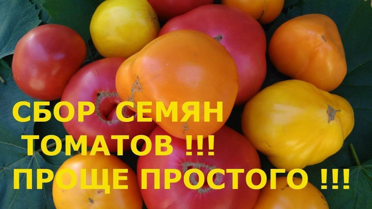 Как собрать семена помидоров