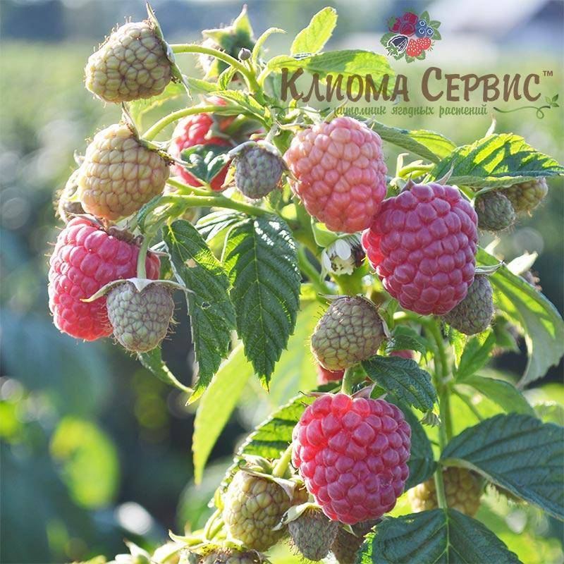 Малина вилламетте (willamette): особенности, урожайность
