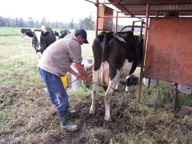 Сколько раз лучше доить корову (18-22 литра за 1 раз!)