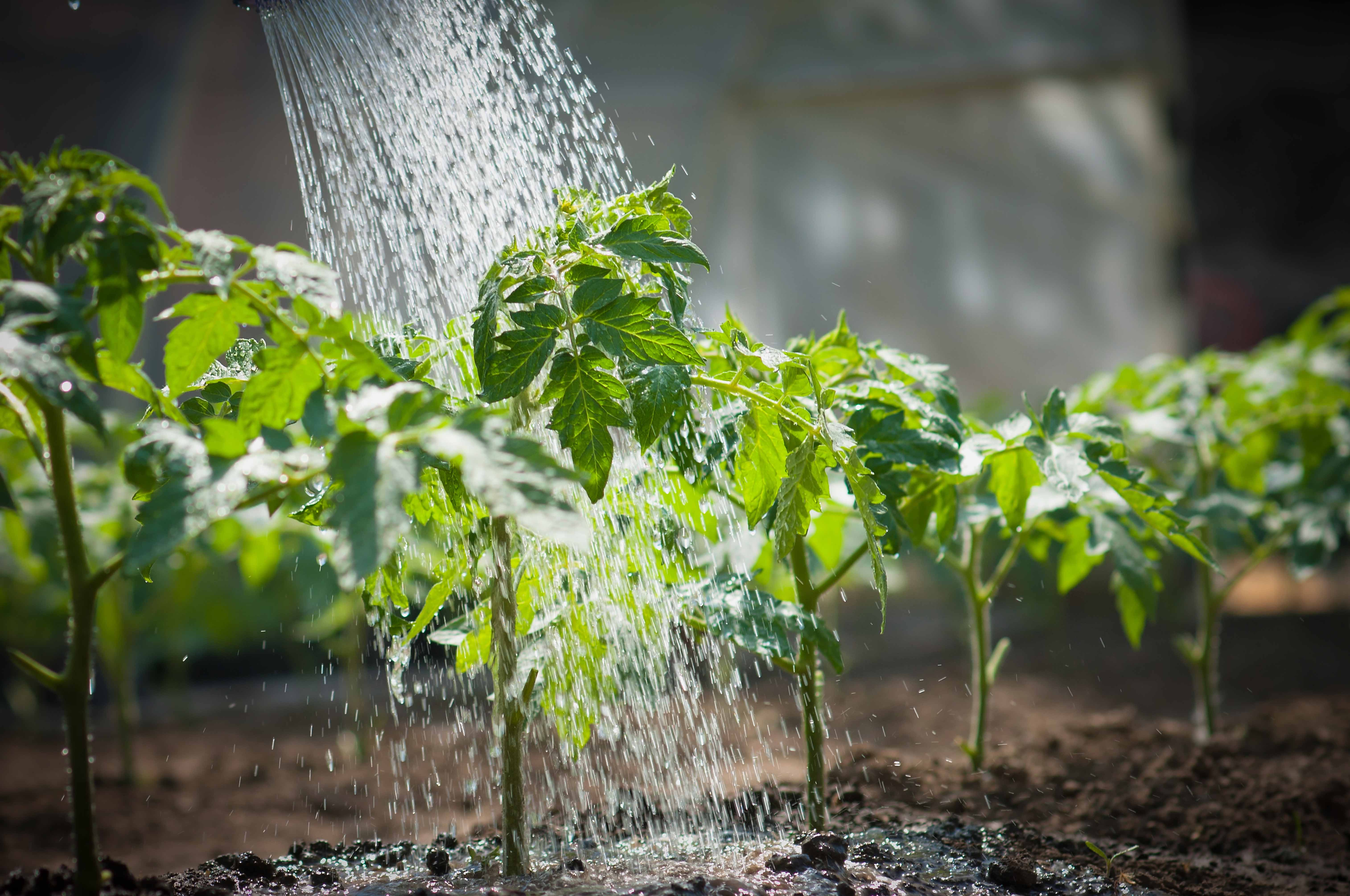 Как правильно подкормить помидоры дрожжами, рецепты приготовления удобрения