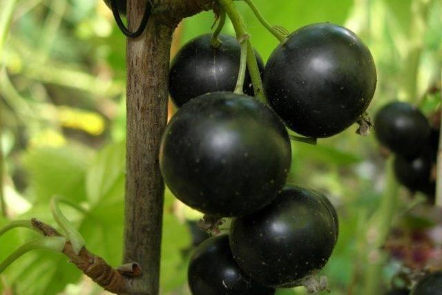 Смородина ядреная - настойщий подарок для садовода