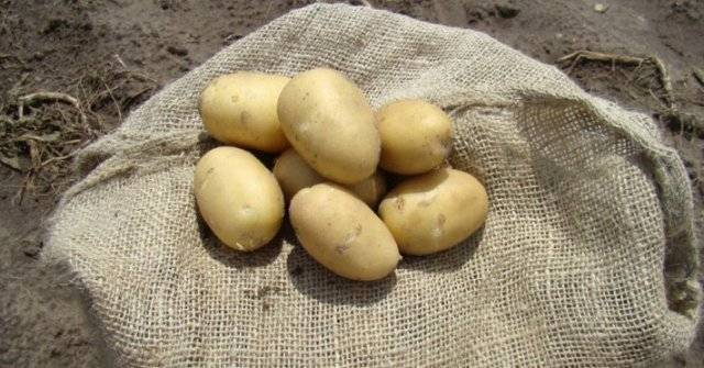Картофель ирбитский описание сорта фото отзывы