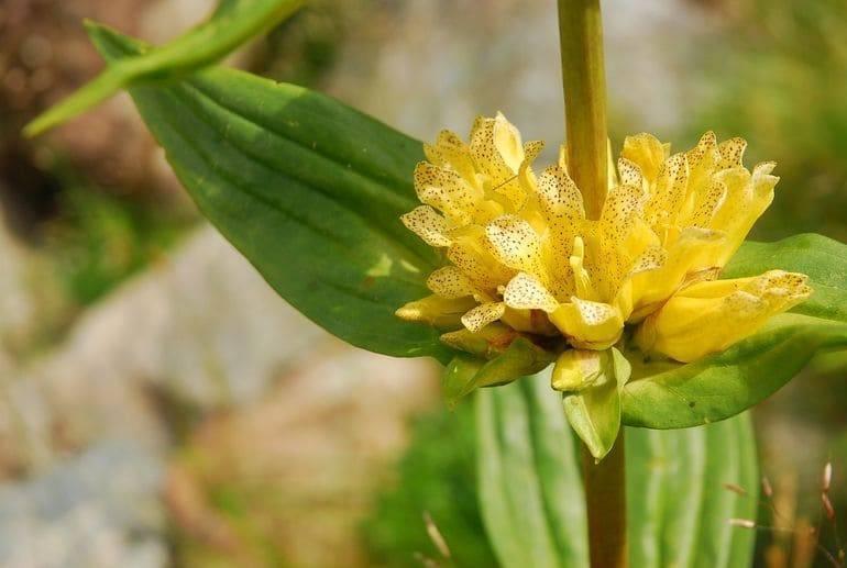 Гентиана или горечавка: посадка и уход в открытом грунте, фото интересного растения с разнообразием сортов и оттенков бутонов