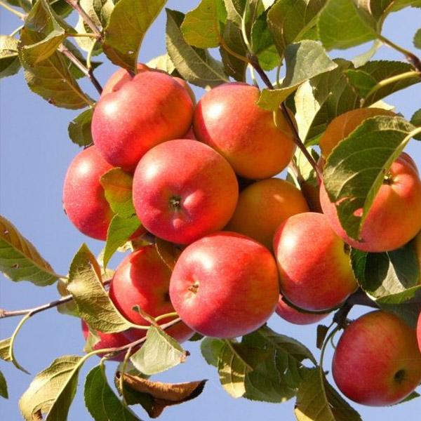 Яблоня женева эрли — описание сорта, фото, отзывы