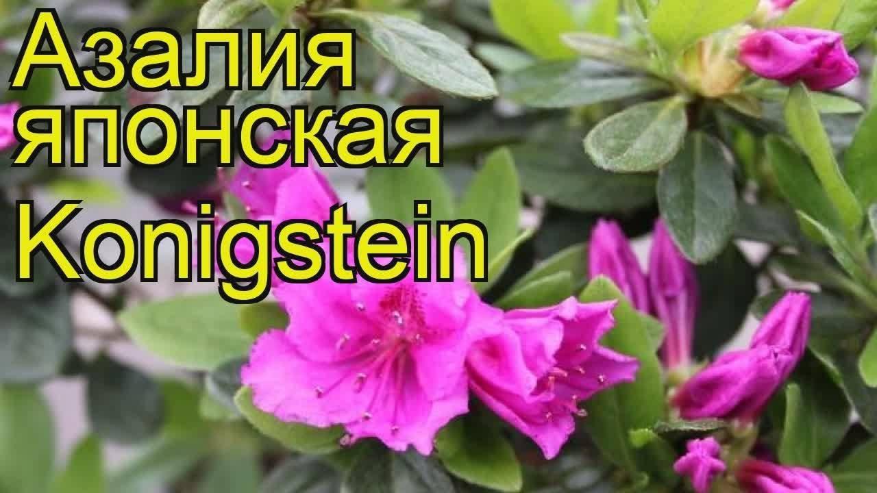 Карликовый рододендрон: описание низкорослых сортов людлови врен (rhododendron wren), баден-баден, аметист, крумлов, их фото и правила ухода за ними