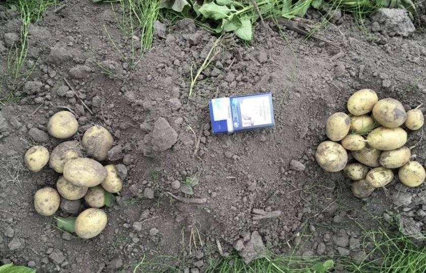 Сорт картофеля цыганка: ботаническое описание, агротехника выращивания и ухода