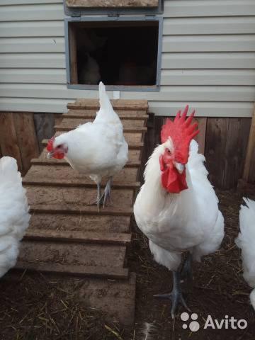 Бресс гальская порода кур: обзор птиц из франции