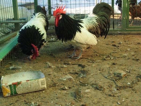 Порода лакенфельдер: черно-белая редкость среди кур