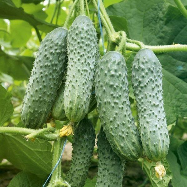 Что такое партенокарпические огурцы: сорта, особенности выращивания