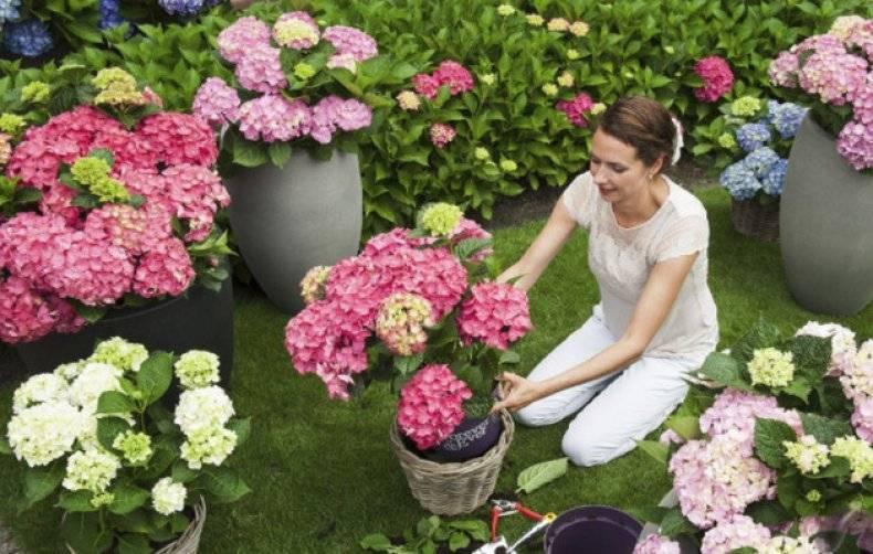 Когда лучше пересаживать гортензию в другое место: весной или осенью?