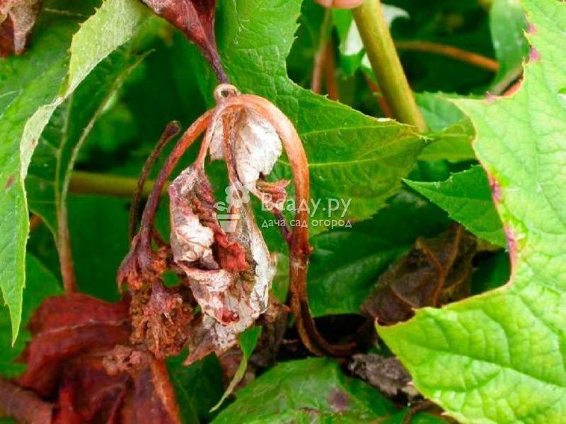Скрученные листья у гортензии метельчатой по краям: что делать?