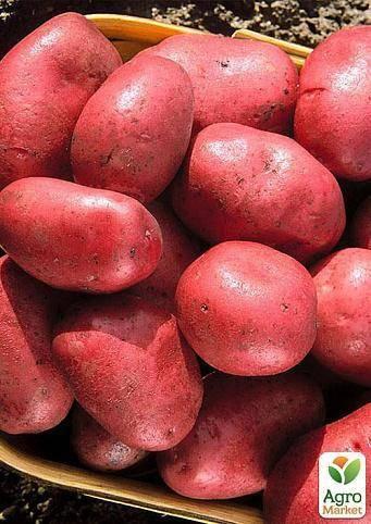 Лучшие сорта картофеля: «наяда», «мадейра», «чайка» и другие