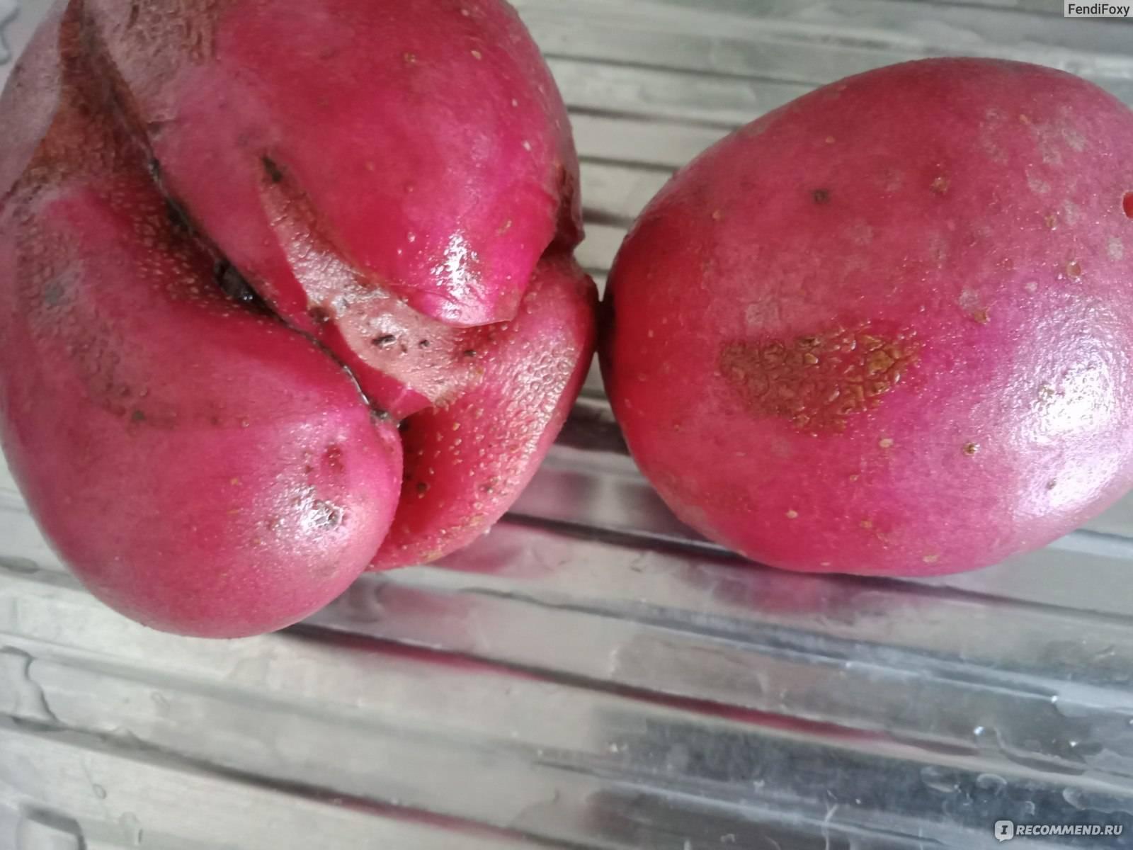 Картофель латона: характеристики сорта, вкус, отзывы