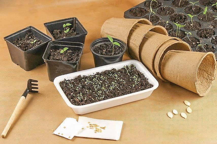 Как пользоваться торфяными горшочками для рассады, высадка растений в грунт