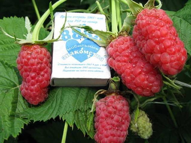 Преимущества выращивания крупноплодного сорта малины гордость россии