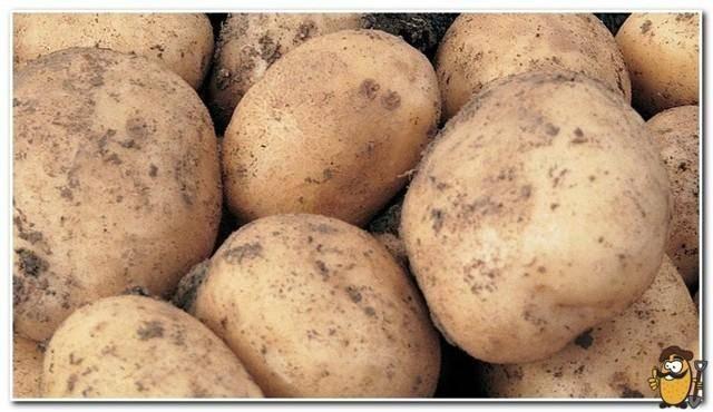 Картофель романо описание сорта фото отзывы
