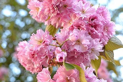 Как вырастить миндаль трехлопастный или луизеанию - декоративные цветы и кустарники - смолдача - портал дачников, садоводов и любителей загородной жизни