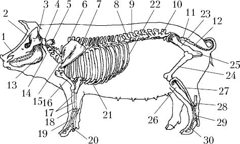 Остеодистрофия свиней